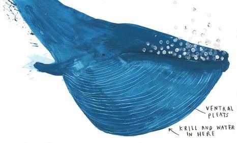 La balenottera azzurra, Jenni Desmond - 2016, Lapis